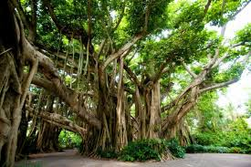 the health benefits of peepal trees you need to