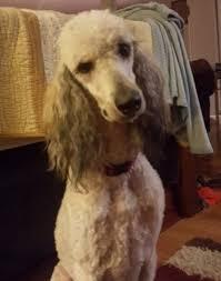 afghan hound poodle cross poodle mix knoxville tn u2013 dog life photo