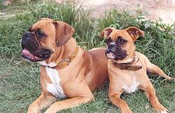 boxer dog uk boxer dog wikipedia