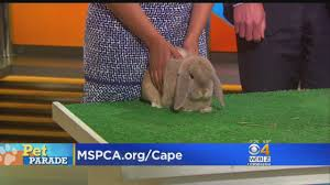 pet parade mspca cape cod adoption center cbs boston