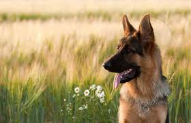 belgian shepherd for sale philippines animal clinic of clayton veterinarian in st louis mo usa