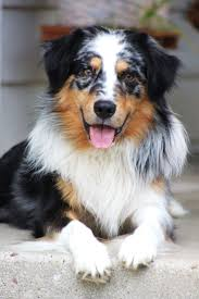 australian shepherd 11 weeks old 2143 best australian shepherds images on pinterest animals
