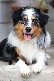 australian shepherd and golden retriever mix best 25 australian german shepherd ideas on pinterest puppies