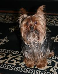 haircuts for yorkie dogs females miniature yorkie haircuts to view more tips about pet dogs