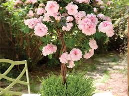 Cherry Blossom Facts by Cherry Blossom Trees Southern Living