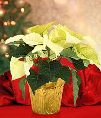 white poinsettia white poinsettia for delivery at from you flowers