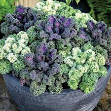 ornamental kale yokohama mix harris seeds