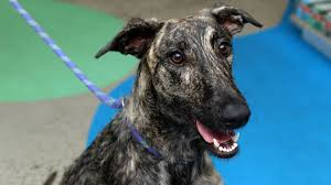 pet of the week lyka the staghound cross the courier