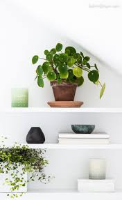 native plants in china best 25 chinese money plant ideas on pinterest money plant