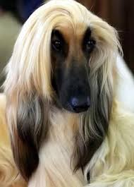 afghan hound hairstyles glamour puss dogs pets afghanhounds facebook com