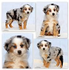 australian shepherd miniature fionn maccool miniature australian shepherd the forest fairy