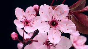 cherry blossom flowers cherry blossom and b roll footage getty images