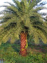 sylvester palm tree sale palm trees ta bay largo clearwater st petersburg florida