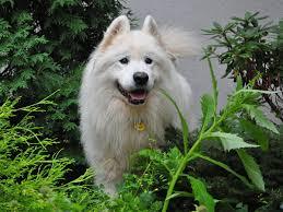 american eskimo dog small canine diabetes mellitus a condition involving sugar levels