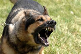 dogs wallpapers german shepherd attack best free wallpaper
