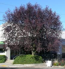 tree profile for the canada chokecherry forest nursery