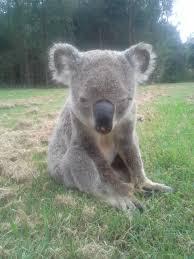 blinky the koala album on imgur