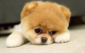 cute dog wallpapers cute puppy wallpapers for computers pixcorners