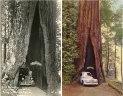 Chandelier Drive Through Tree Vintage Rides And Drive Thru Trees
