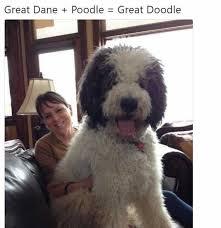 Great Dane Meme - dopl3r com memes great dane poodle great doodle