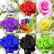 multi colored roses 100 multi color beautiful colorful rainbow flower seeds yard