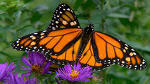 how one gene gives monarch butterflies the power to migrate nbc news