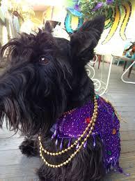 mardi gras jester ribbon dog 14 best pug stuff images on mardi gras costumes pug