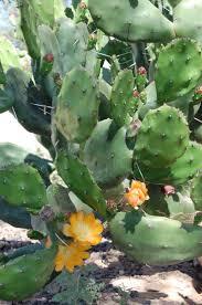 native arizona plants 15 best arizona desert plants images on pinterest desert plants