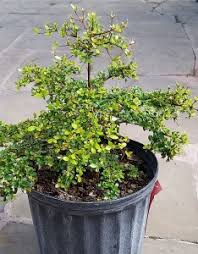 small trees florida nursery mart