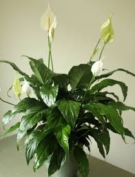 peace lilly studley s peace green plant studley s flower gardens