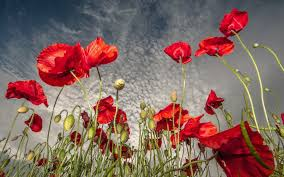 43 poppy wallpapers poppy hd pictures guoguiyan
