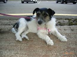 haircut ideas for long hair jack russell dogs 4 year old long hair jack russell wednesbury west midlands