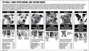 american pitbull terrier akc pit bulls archives tails of fort collins
