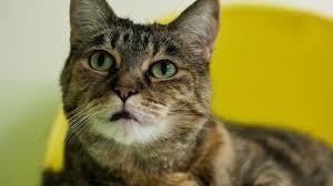 alimentazione casalinga gatto come gestire l alimentazione domestica gatto le tabelle con