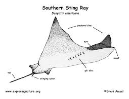 stingray southern