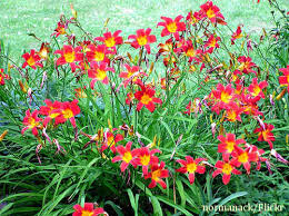 day lilies how to plant daylilies daylily flowers for your edible landscape