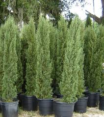 italian cypress tree facts cultivars growth rate pictures
