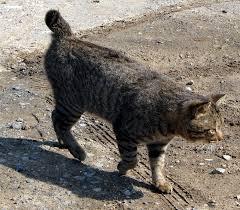 cat body type mutation wikipedia