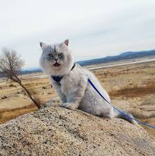 how to travel with a cat images Meet gandalf the traveling cat who has better vacations than you jpg