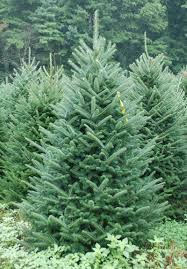 tree types fraser fir find out why to choose this
