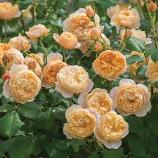 what colour paper did roald dahl write on roald dahl david austin roses roald dahl