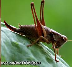 in house meaning how long do crickets live good crickets in house meaning 4