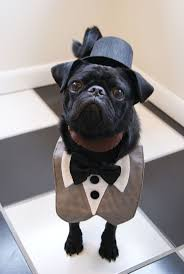 funny dog costumes halloween 57 best funny pugs images on pinterest funny pugs animals and