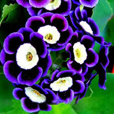 petunia flowers black purple scarce phantom petunia flower seeds seeds