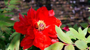 Peony Flowers by Peonies Tree Peony Flowers Of A Japanese Shinto Shrine Youtube