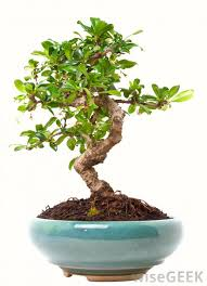 what are some indoor trees with pictures