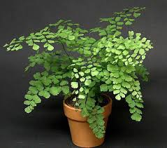 Fragrant Indoor Plants Low Light - maidenhair fern grows all over the world in tropical to warm