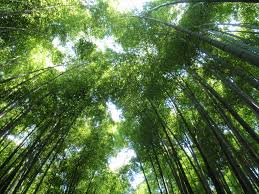 sorte de bambou post de raphaël arashiyama japon jeux vidéo drupal le