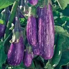 fairy tale hybrid eggplant seeds