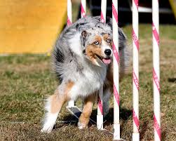 australian shepherd in california dogbreedz photo keywords australian shepherd agility photographer